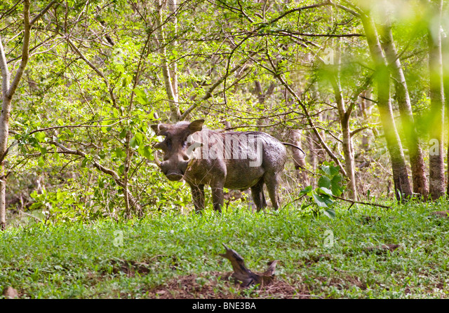 Common Warthog, Phacochoerus africanus, in Mole National Park, Ghana. - Stock Image