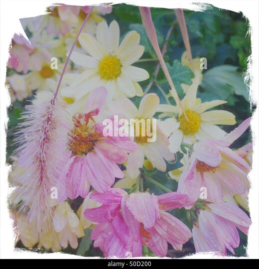 Pretty pink and yellow daisies with morning dew on petals. Painterly, rough-edged white frame and vintage paper - Stock Image