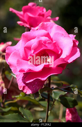 Flower and buds of the floribunda rose, Rosa 'Romance' - Stock-Bilder