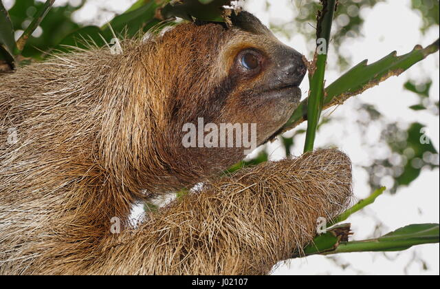 Brown throated three toed sloth head profile, wild animal in the jungle, Costa Rica, Central America - Stock Image