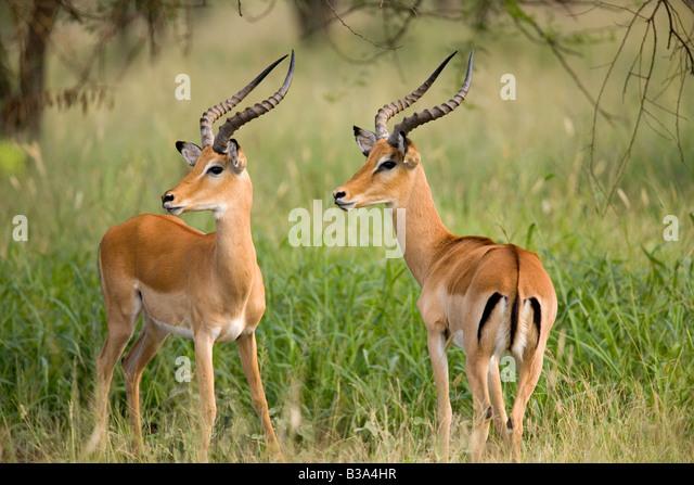 Impala males Aepyceros melampus Northern Serengeti - Stock Image