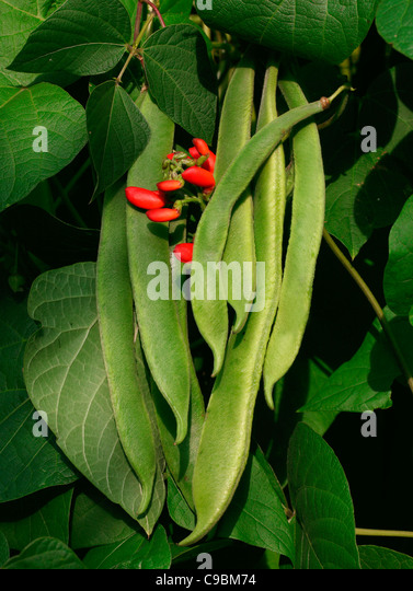 GREEN BEANS GROWING ON BEANSTALK - Stock Image