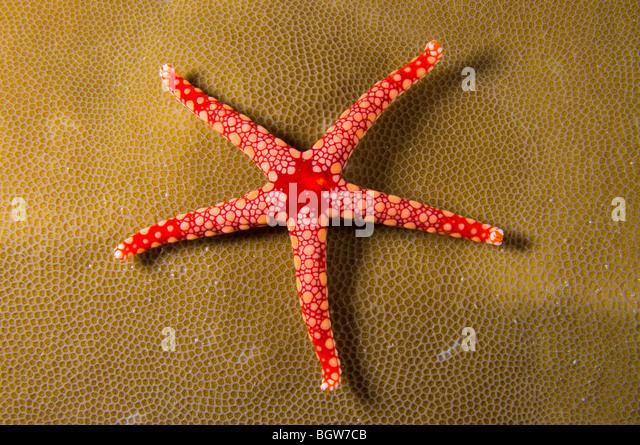 Red sea star in coral reef, echinoderm, coral reef, tropical reef, ocean, scuba, underwater, marine life, sea life, - Stock Image