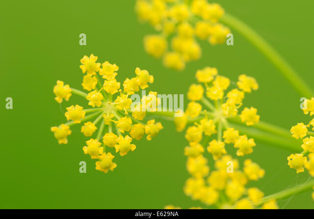Wild Parsnip (Pastinaca sativa), North Rhine-Westphalia, Germany - Stock Image