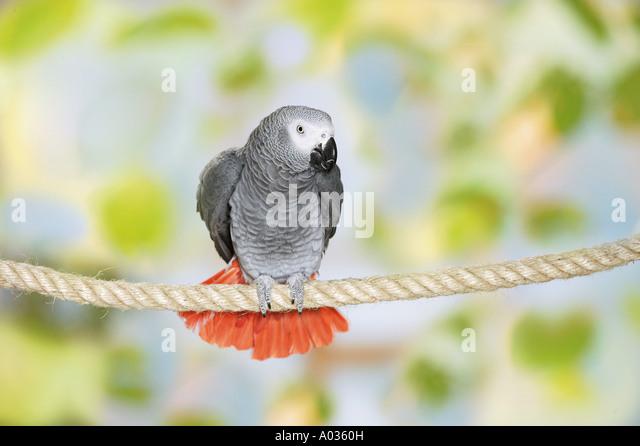 Congo African Grey parrot on rope - Stock-Bilder