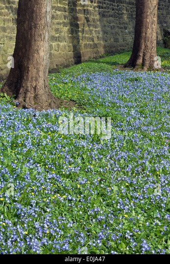 Chionodoxa luciliae or Lucile's Glory-of-the-snow flowers. - Stock Image