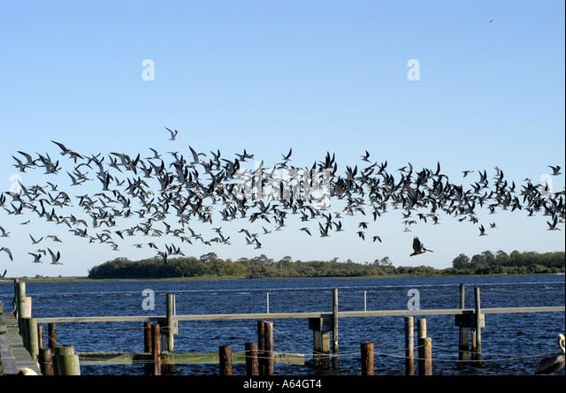 Cedar Key Florida flock birds - Stock Image