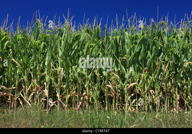 Maize corn field set against a wonderful blue sky, not a cloud in sight and the blue color a perfect uniform solid - Stock Image