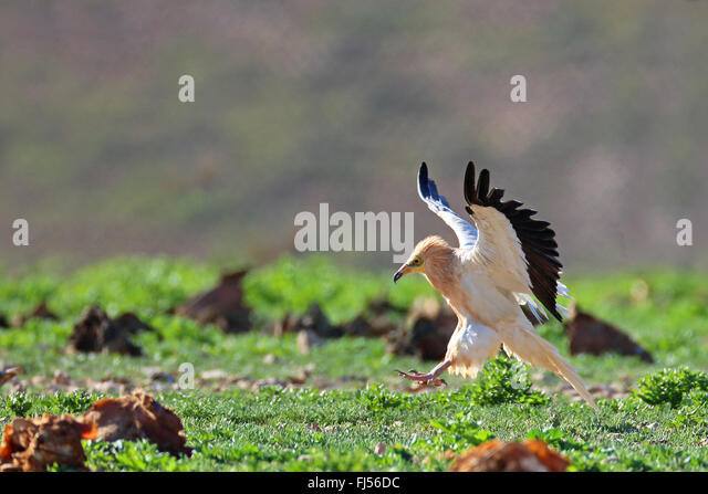 Egyptian vulture (Neophron percnopterus), landing on the ground, side view, Canary Islands, Fuerteventura - Stock-Bilder