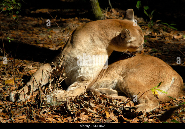 Florida panther grooms its fur outdoors in sunshine florida nature wild animal rare endangered species - Stock Image