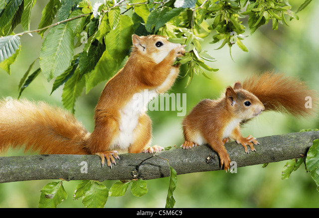 European red squirrel with cub on tree - Stock Image