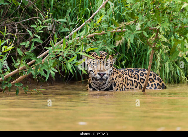 jaguar standing - photo #24