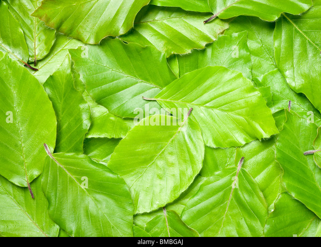 Beech leaves, Fagus sylvatica. - Stock Image
