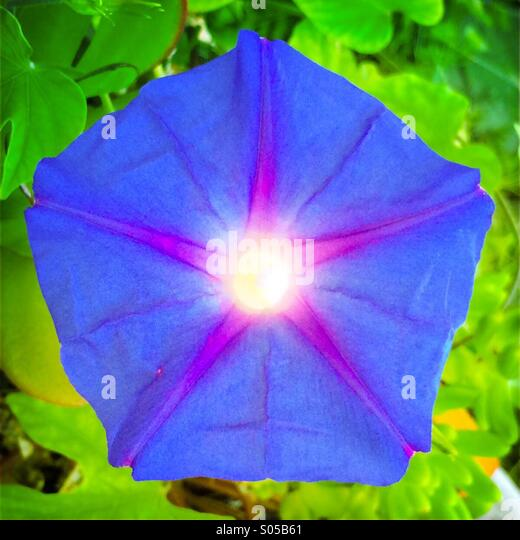 Close up morning glory - Stock Image