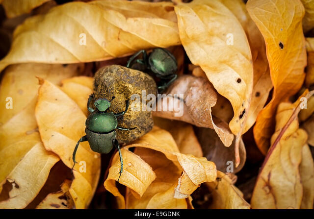 Male and female African dung beetles rolling dung together through gold coloured leaf litter, Zambia - Stock-Bilder