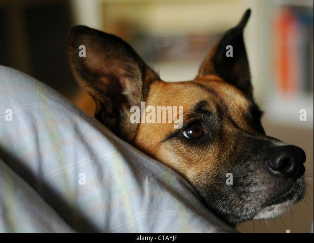 Loyal Dog - Stock Image