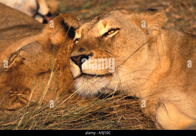 South Africa Female Lions Relaxing - Stock Image