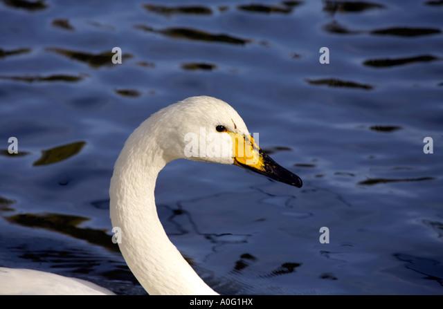 Whooper Swan  (Cygnus Cygnus) - Stock Image