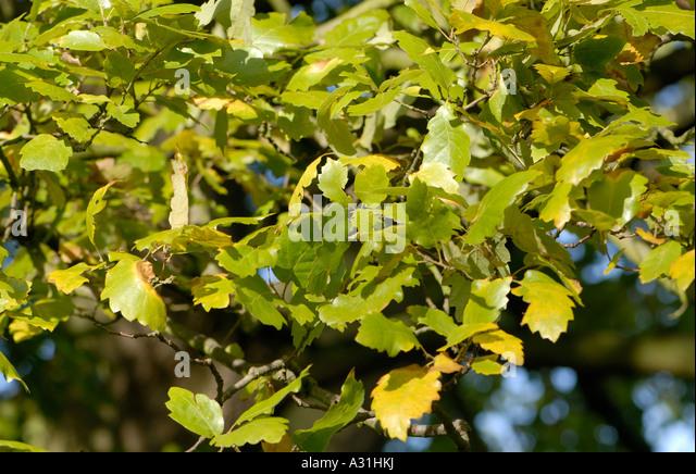Green leaves on a fine specimen of an oak tree in full leaf in mid winter - Stock Image