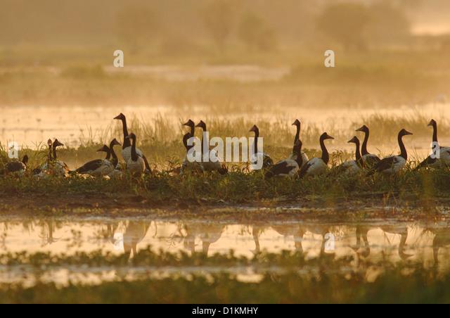 Flock of Magpie Geese (Anseranas semipalmata) in Kakadu National Park, Australia - Stock-Bilder