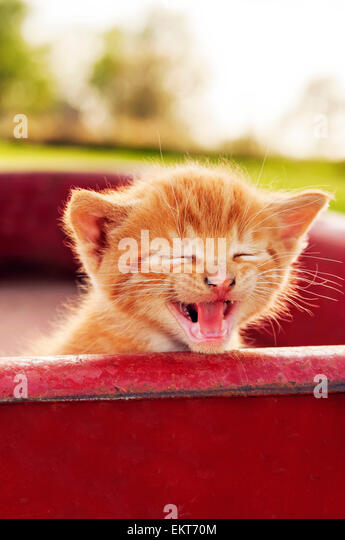 Kitten mewing in red wagon - Stock Image