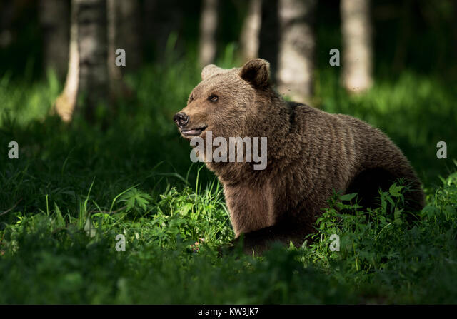 Eurasian Brown Bear, Finland - Stock Image