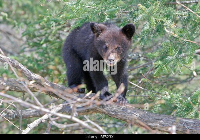 American Black Bear (Ursus americanus). Spring cub (4 months old) secure in a tree. - Stock Image