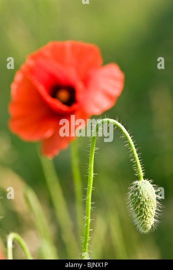 red poppy flower close up - Stock Image