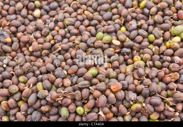 Backgrounds of freshness coffee bean to expose to the sun - Stock-Bilder