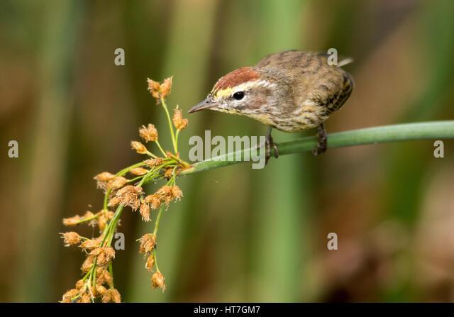 Palm Warbler (Setophaga palmarum) - Green Cay Wetlands, Boynton Beach, Florida, USA - Stock Image