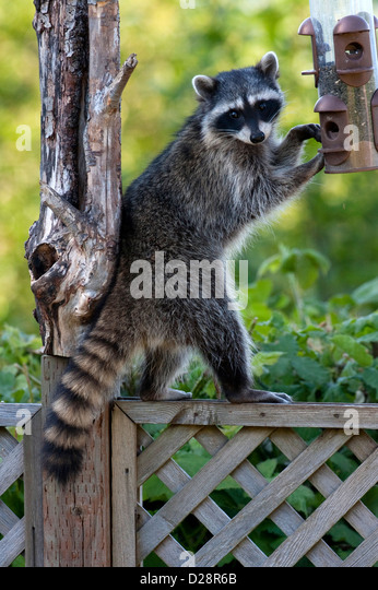 Raccoon (Procyon lotor) trying to eat sunflower seeds from a bird feeder in Nanaimo, Vancouver Island, BC, Canada - Stock Image