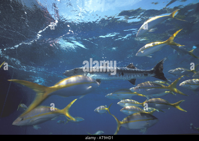 underwater barracuda and yellowtail snapper - Stock Image