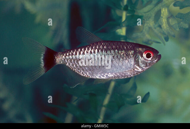 Red Eye Tetra, Moenkhausia sanctaefilomenae. Aquarium fish - Stock ...