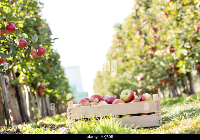 Crate of red apples in sunny orchard - Stock-Bilder
