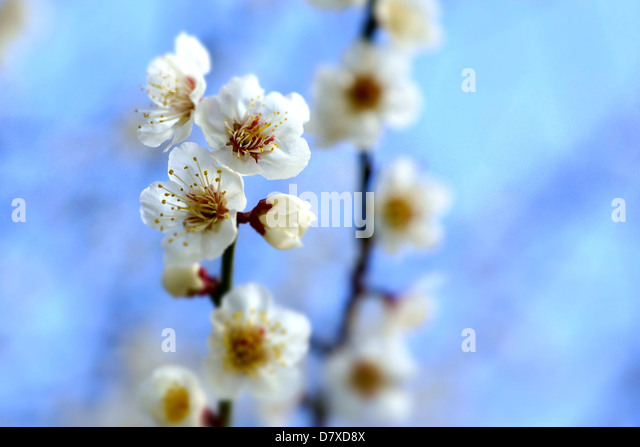 White plum blossoms, Osaka Prefecture - Stock Image