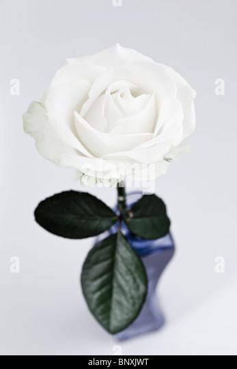 Single White Rose - Stock Image