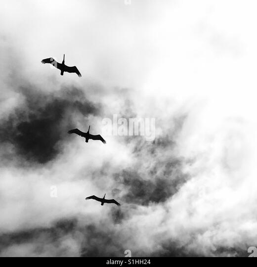 Three pelicans flying above. Manhattan Beach, California USA. - Stock Image