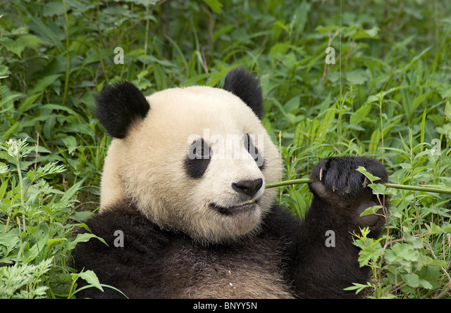 Giant panda sitting feeding, Wolong, Sichuan, China - Stock Image