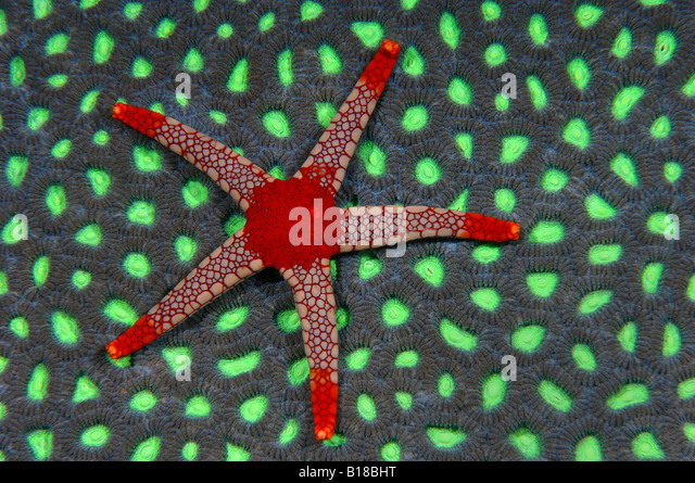 Red Starfish on coral Fromia monilis Mindoro Philippines - Stock-Bilder