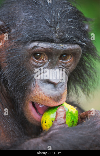 Portrait of Bonobo Chimpanzee at the Sanctuary Lola Ya Bonobo, Democratic Republic of the Congo - Stock-Bilder