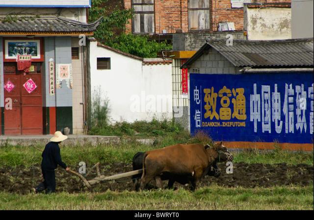 Farmer plowing field with cattle, Xizhou, Yunnan, China - Stock Image