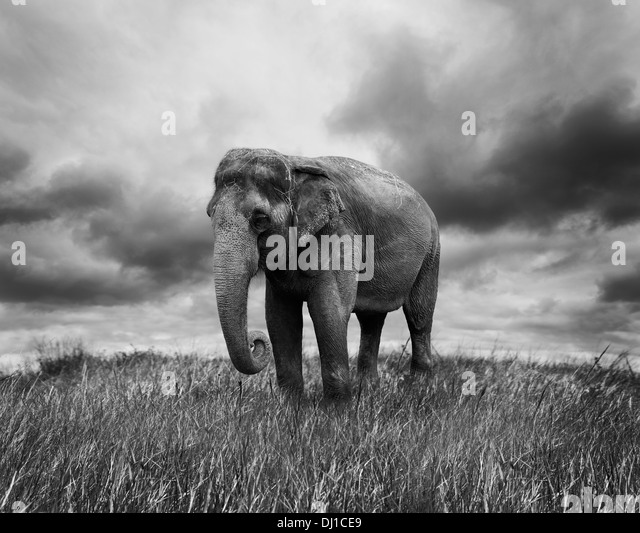 Elephant Walking On The Grass - Stock-Bilder