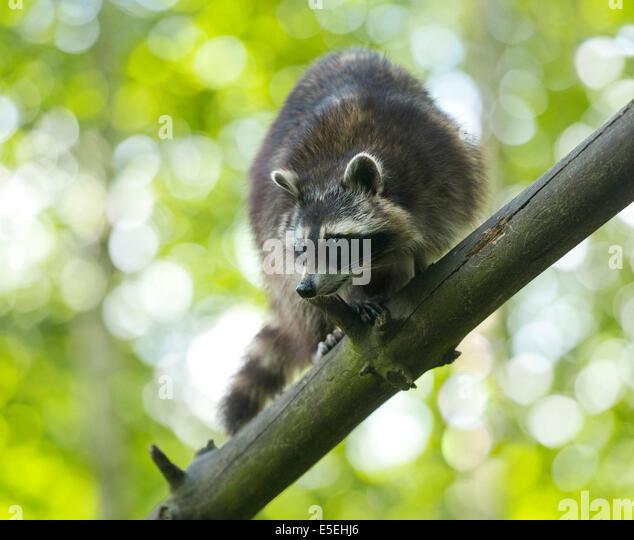 North American Raccoon (Procyon lotor), captive, Lower Saxony, Germany - Stock Image
