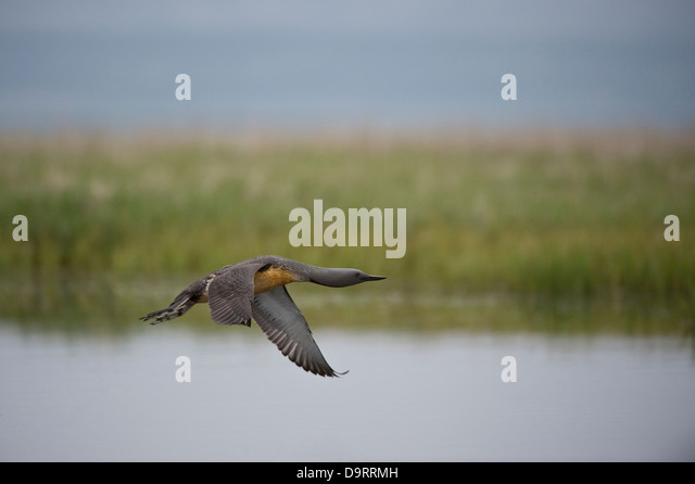 Red-throated Diver (Gavia stellata) flying night wetland Southen Iceland Europe June - Stock Image