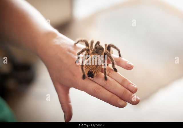 Hairy brown pet Tarantula spider sitting on a human hand - Stock Image