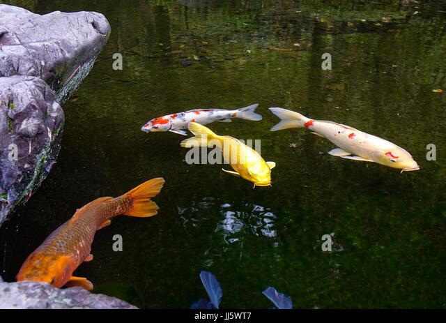 Fish scales of koi carp stock photos fish scales of koi for Koi pond forms