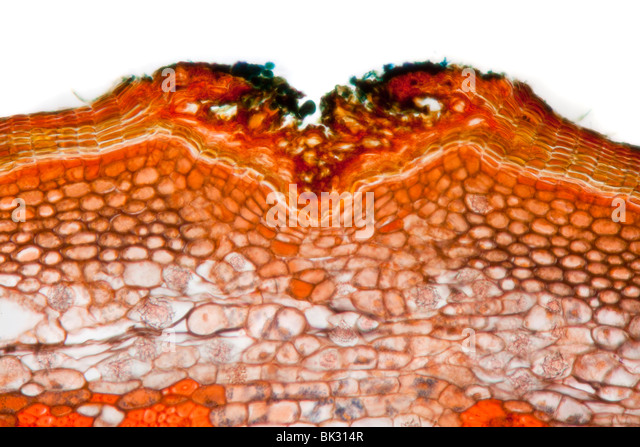 Photomicrograph of Lime tree stem, Tillia sp. showing general structures; phloem, xylem, vascular bundles, pith - Stock Image