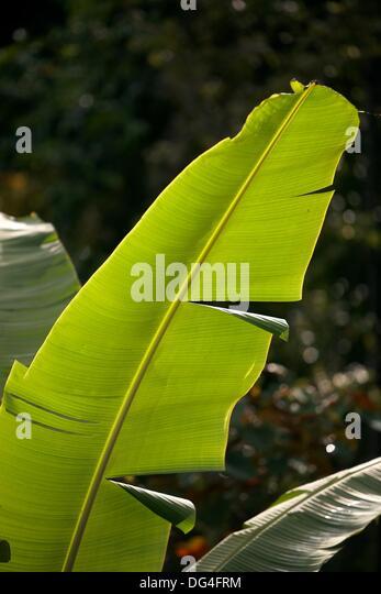 Flora, Baliem Valley, Western New Guinea, Irian Jaya, Papua, Indonesia - Stock Image