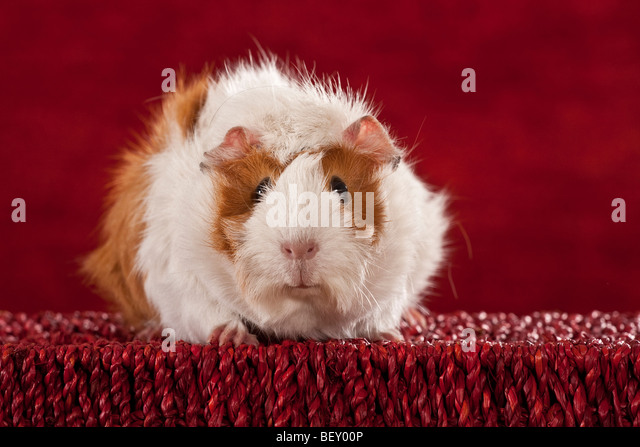 guinea pig sitting on an red basket / red backround - Stock Image