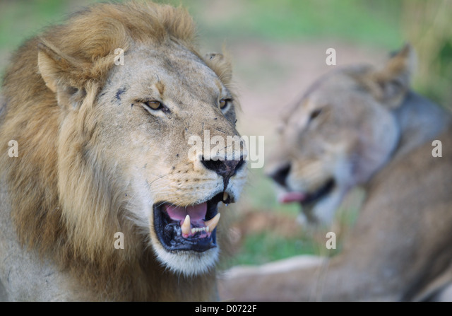 Male and female African Lion   Panthera leo  in Mikumi Game reserve . Southern Tanzania. - Stock Image